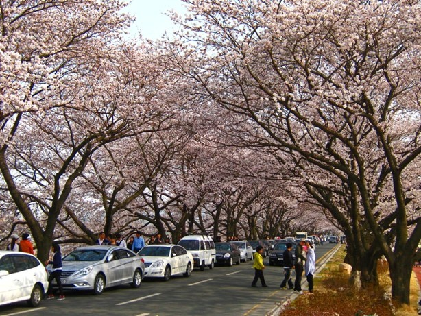 Cherry Blossoms in Gyeongju South Korea