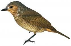Rhagologus leucostigma         Nombre vulgar: Silbador moteado, Mottled Berryhunter  Nombre científico: Rhagologus leucostigma