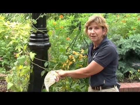 Aristolochia gigantea (Brazilian Dutchman's Pipe, Giant Pelican Flower)is an ornamental plant native to Brazil, typical of Bahia and Minas Gerais vegetation....