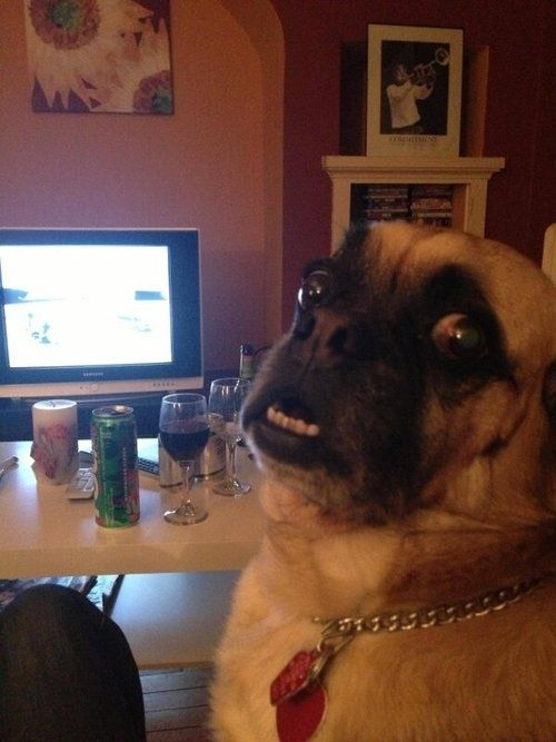 They disprove of addicting habits. | 41 Reasons Why Pugs Are The Most Majestic Creatures On Earth