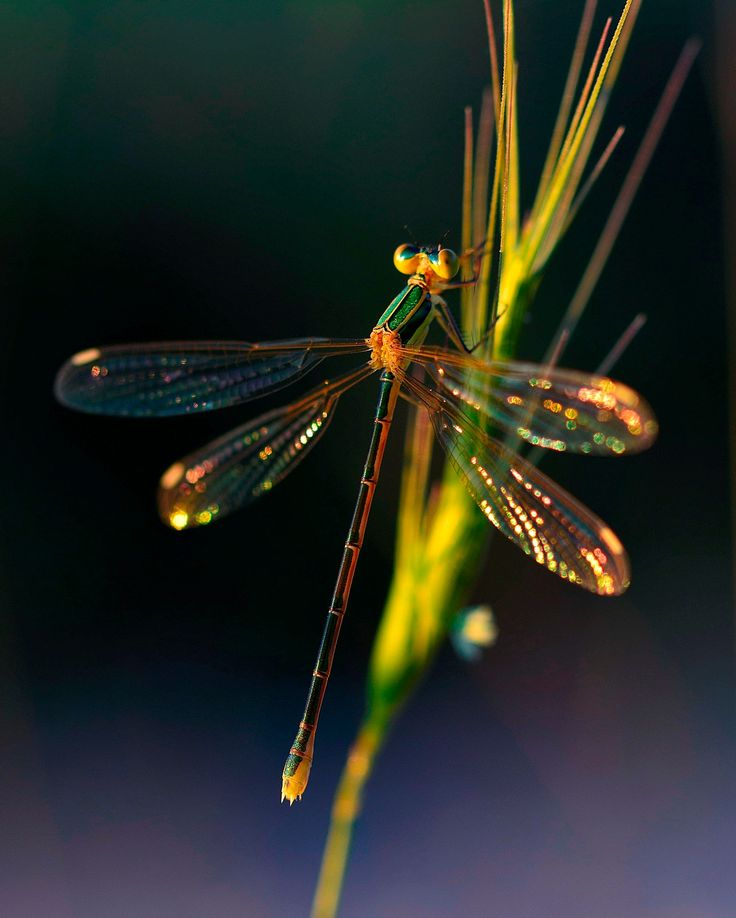 A beautiful shot of a Dragonfly. yusufçuk by Sultann - Photo 211507329 / 500px