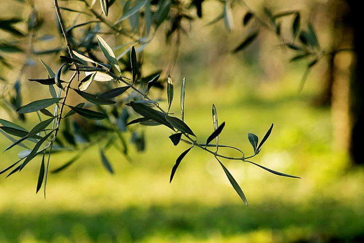 Gli uliveti di Terre Italiane