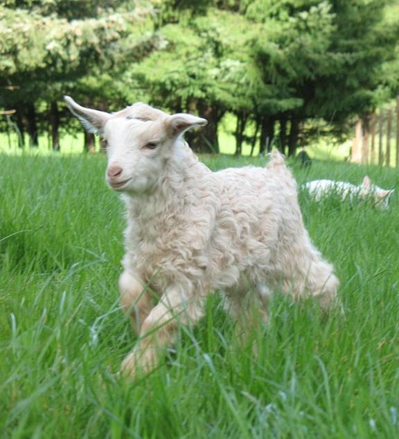 778 Best Goat Farm Images On Pinterest: 56 Best Goats Images On Pinterest