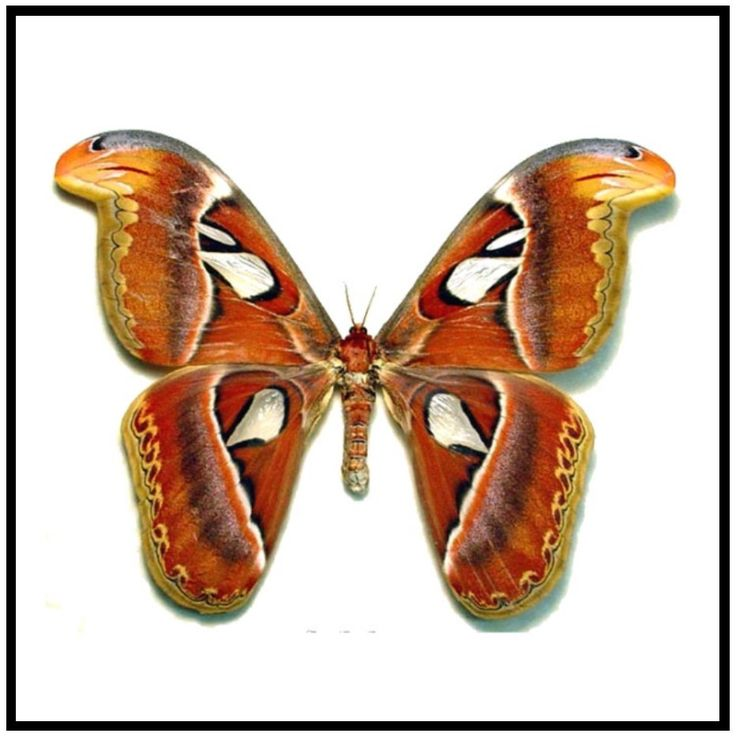 "Acrylic Display Box - Atlas Moth - Female -10"" X 10"" - #90010-03"