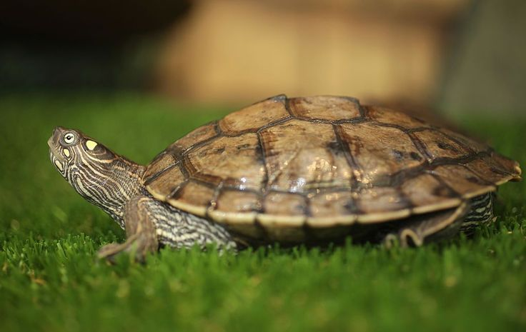 Caring for pet mississippi map turtles map turtle
