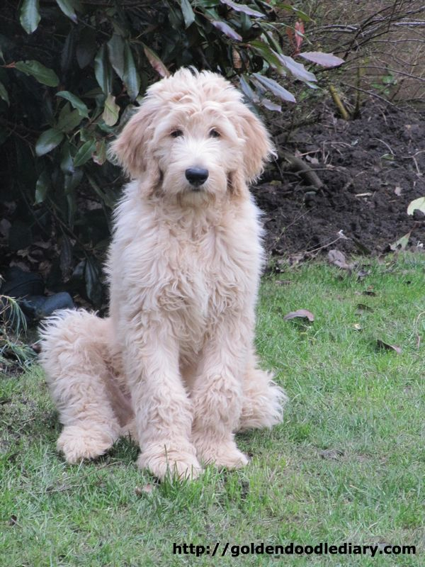 Goldendoodle, need less excercise than Labradoodles, more laid back, not guard dogs though