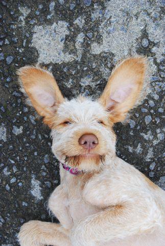Phoebe Fiera, my Italian Spinone puppy