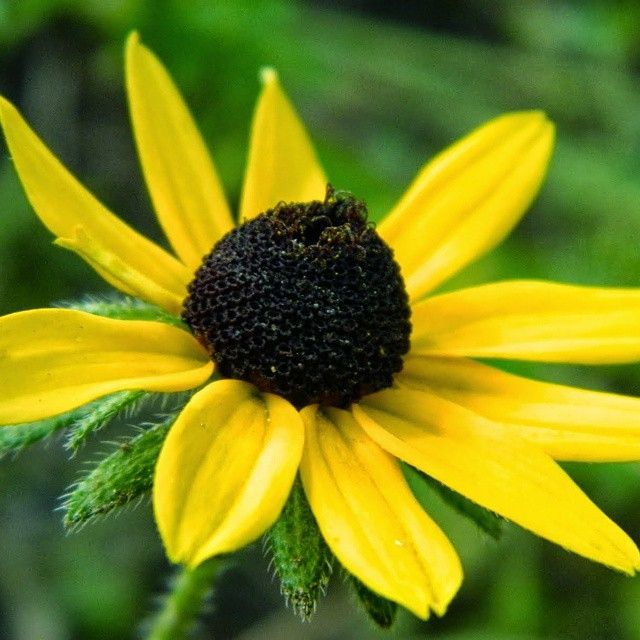 This flower is so cute, you can even notice that a bee had already been there. I think this flower is called black eye susie❤ #flower #flowers #yellow #yellowflower #yellowflowers #beautiful #scene #scenery #scenary #naturelovers #nature #beautiful #organic #life #lifesbeautiful #lifesbeauty #pretty #prettyplants #prettyplant #natural #zoomin #zoom #closeup #closeups #potrait #cuteness #cute #adorable #pollinated  #daisy