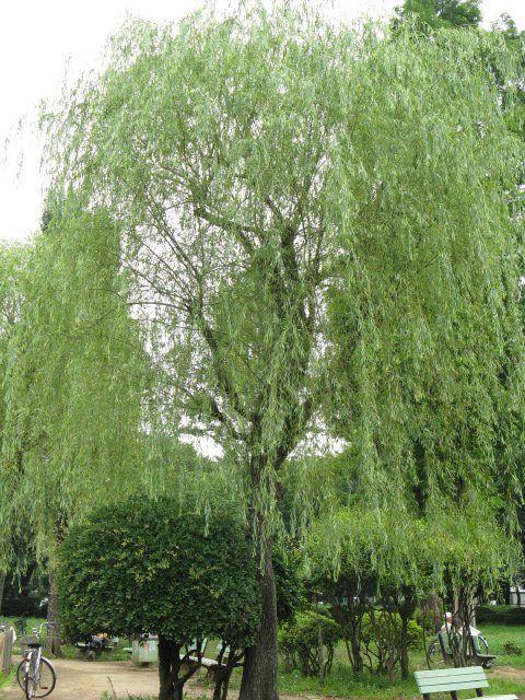 1月21日の誕生日の木は「シダレヤナギ(枝垂柳)」です。 ヤナギ科ヤナギ属の落葉高木です。原産地は中国。奈良時代に日本に渡来し、古くから庭園樹、街路樹や建築物の添景として植栽されてきました。唐の長安などに倣って、平城京や平安京にも街路樹として植栽されていたといわれています。 シダレヤナギの名前の由来は、細長い枝が垂れ下がるその姿より。イトヤナギ、スダレヤナギなどの別名を持ちます。ちなみに漢字の「柳」はシダレヤナギを示すそうです。 樹高は8m~17m。雌雄異株ですが、日本には雌株は少なく、繁殖は挿し木によります。開花期は2月~4月。葉の展開と同時に開花します。雄花穂は2cm~3cm。雄しべは2個で花粉の入る葯(やく)は黄色くなります。雌花穂は1cm~2cm。尾状花序は円柱形で上に向かって湾曲します。昆虫類の媒介によって受粉が行われる虫媒花です。