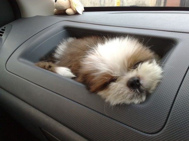 shih tzu sleeping in the car, awwww!