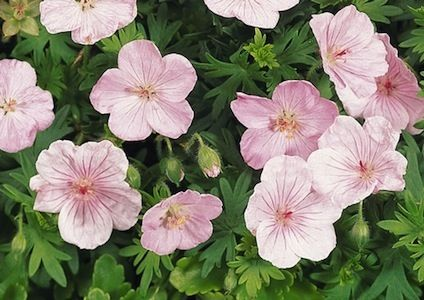 22 best images about flowers on pinterest jacob 39 s ladder for Pink flower perennial ground cover