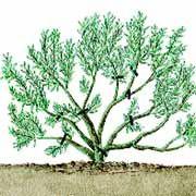 Lavendel schneiden: Wieviel bzw. wie kurz sollte man Lavendel schneiden und was tun bei starker Verholzung? Tipps zum Lavendel Schneiden für Frühjahr / Sommer.
