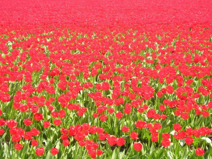 Rood tulpenveld