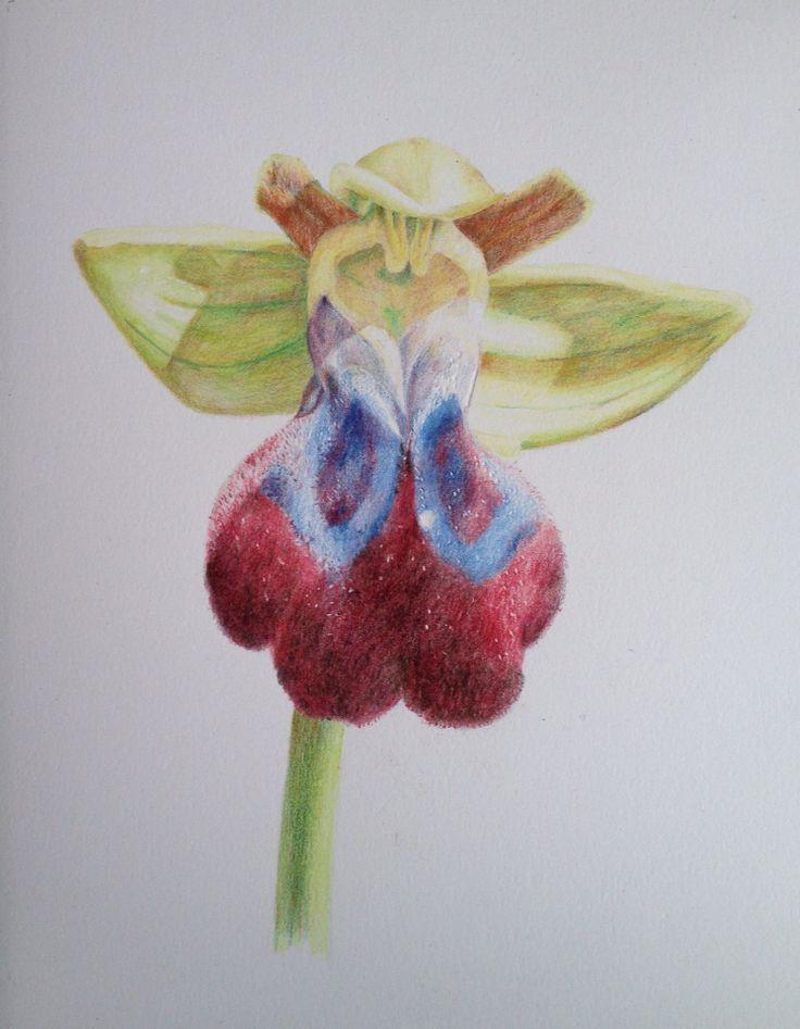 Iris Orchid