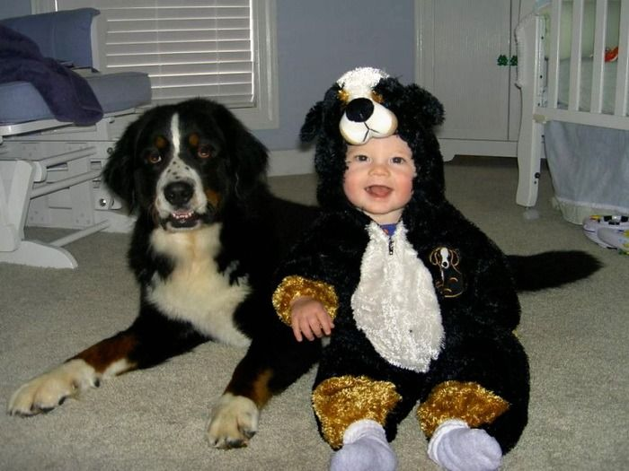 quite possibly the cutest bernese mountain dog halloween costume ever photo by canil januario - Dog Halloween Ideas