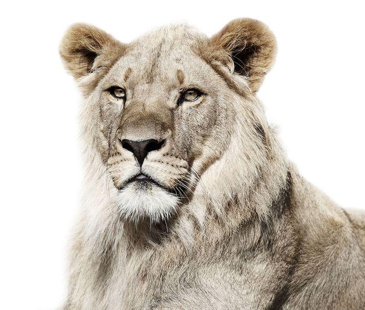 Зоопарк. Портреты зверей в неволе на подчеркнуто белом фоне. 27 снимков портретов животных, живущих в разных зоопарках. Фотосессия задумана Колдби с использованием белого фона, который конечно же был получен после монтажа, чтобы, опять же по словам автора, резче выделить уникальные черты морд каждого медведя, льва, или скажем, белого лебедя. Насколько удался датскому фотографу его проект, можно увидеть на этих кадрах в нашей публикации.