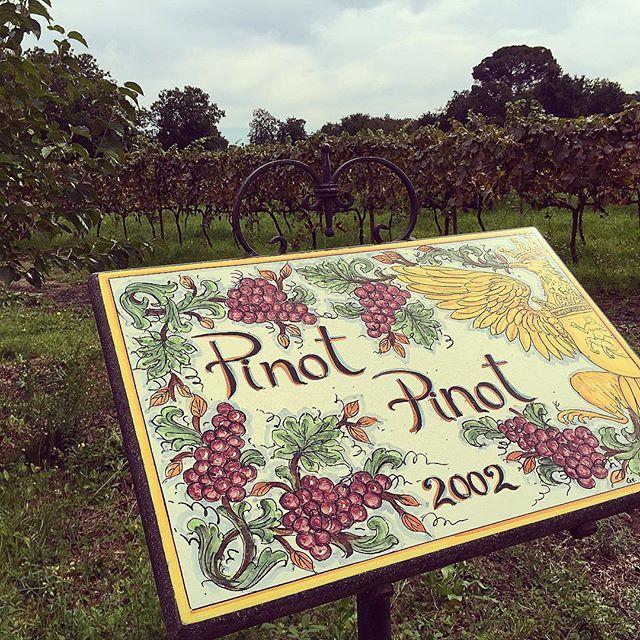 """Raccolta Pinot 2015!  #tenutachiusedelsignore #linguaglossa #topwine #greatgrapes #pinotnoir #sfideimportanti"" Photo taken by @sedeluca on Instagram, pinned via the InstaPin iOS App! http://www.instapinapp.com (10/06/2015)"