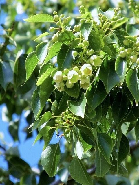 Kurrajong - native to Austrailia  Brachychiton populneus