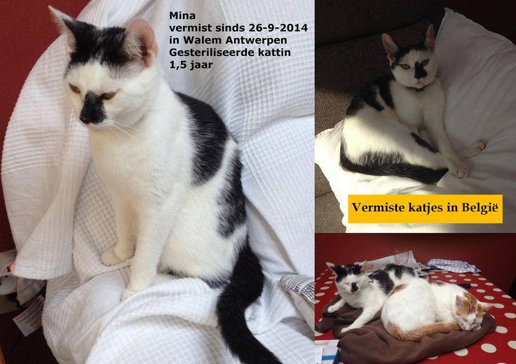 Mina #vermist in #Walem Antwerpen  sinds 26-9-2014 Gesteriliseerde #kattin van 1,5 jaar omgeving van de Oude Baan Contact: Ben +32475584651 Mina, een nogal bange kat, dominant met andere katten op uitzondering van haar broer die samen met verdwenen is dezelfde dag!! Heeft een donkere vlek op de ene kant van neus tot aan de lip ! Mina verdween samen met Tuur!