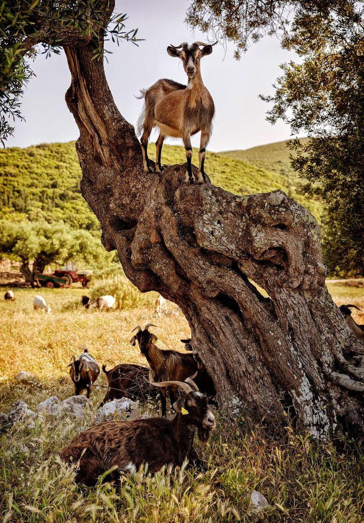 Zakynthos. Bergsgetterna söker mer än gärna skugga under de åldriga olivträden. Foto: Ulf Berglund