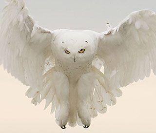 A male snowy owl hovers over a field near Colorado Springs, Colorado | Barbara J. Fleming via National Wildlife Federation