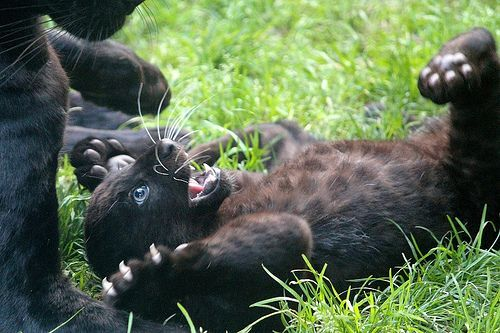 Panther cub! SURPRISE!...oh yeah by the way look at baby's claws!! Oh my!