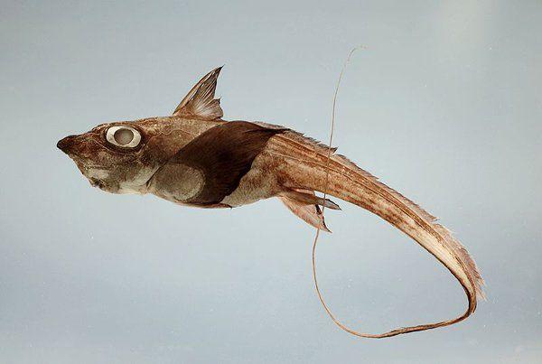 Quimera Este peixe é parente dos tubarões e das raias. É considerado uma das espécies mais antigas de seres marinhos. Possui o maxilar junto ao crânio, o que lhe dá um aspecto desagradável.