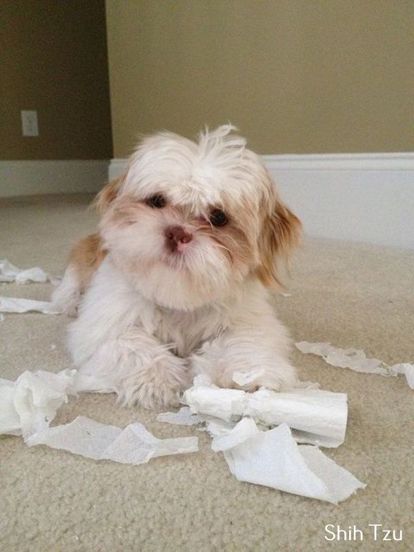 Shih Tzu Affectionate And Playful Shih Tzu Puppy Shih Tzu