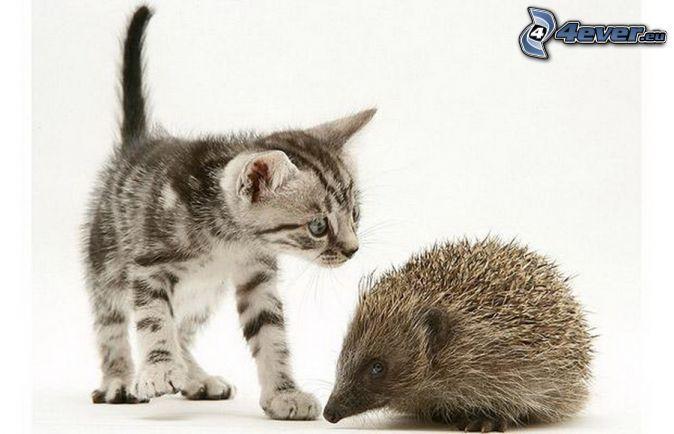 kleines graues Kätzchen, Igel                                                                                                                                                      Mehr