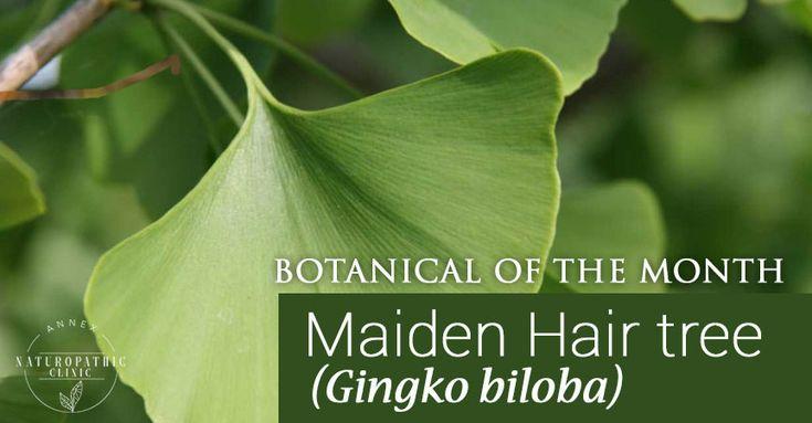 Botanical of the Month  Maiden Hair tree (Gingko biloba) - 572 Bloor St W #201 Toronto ON M6G 1K1 647-624-5800 https://goo.gl/maps/uVRBvcyoUa62 | #Blogger