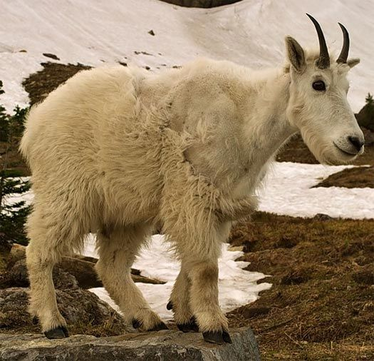 Asian mountain goat tah