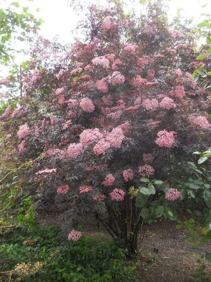 black lace elderberry | of the elderberry sambucus nigra black lace has blossomed ...