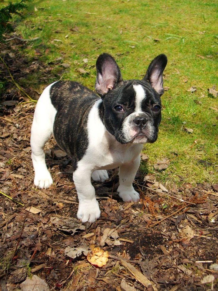 Franse bulldog, French Bulldog Puppy