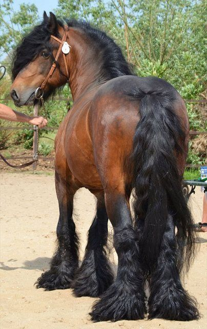 harness carriage draft horse