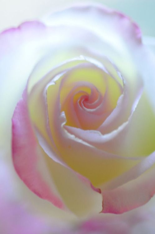 Peace Rose more beautiful then words can ever express