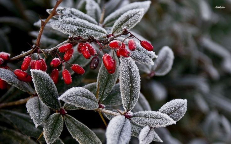 Frozen Japanese Barberry Photography Wild Fruits Frosty Nature Snow Frost Winter Frosted Berry Desktop Background Images