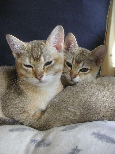 2 golden burmilla's | Flickr - Photo Sharing!