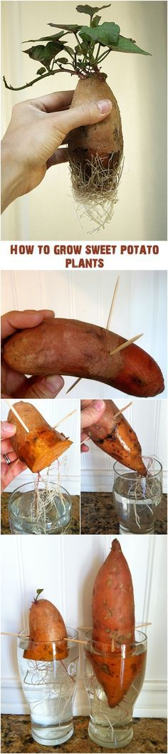 "Sweet potatoes in the U.S. are grown mostly in the South. They are planted in the spring by ""slips."" These are the small rooted pieces of the vine that grow from the ""eyes"" or buds of the potato. How to root a sweet potato for planting : First, stick 3-4 toothpicks around the center of…"