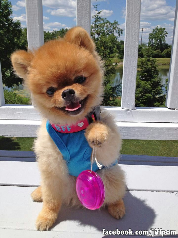 Best Jiffpom Images On Pinterest Adorable Animals - Jiff the pomeranian is easily the best dressed model on instagram