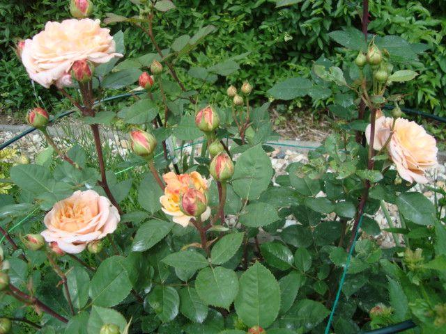 Kunena :: Téma: Austin David - Anglické růže III/2012 (17/66)