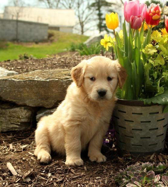 <3 Puppy Love <3 #GoldenRetrieverLove #LancasterPuppies #PuppyLove