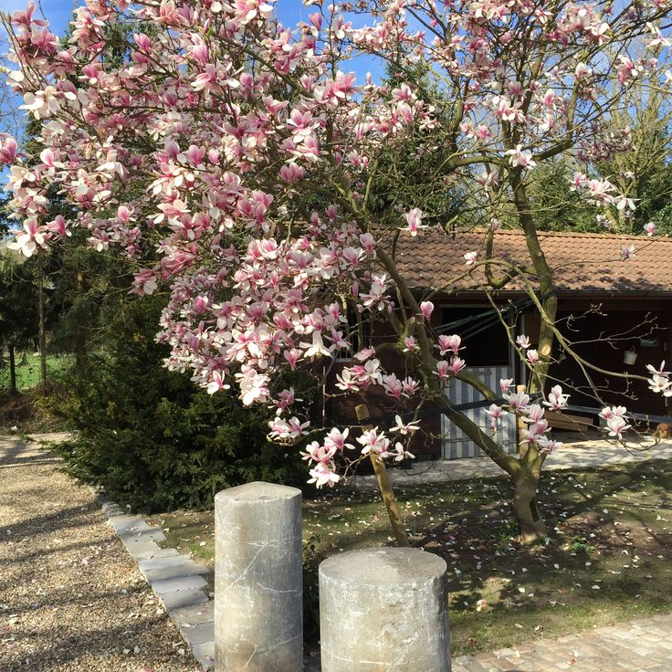 Magnolia - Beverboom