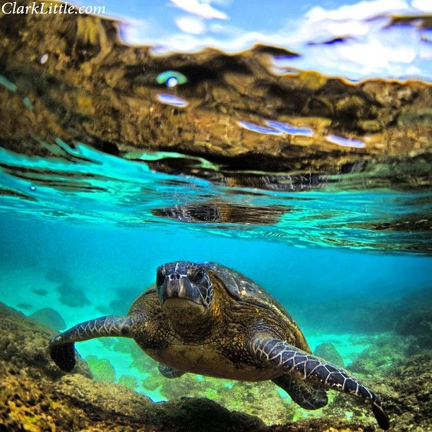 Clark Little Photography - Hawaii Sea Turtle