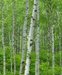 Lovely silver birch
