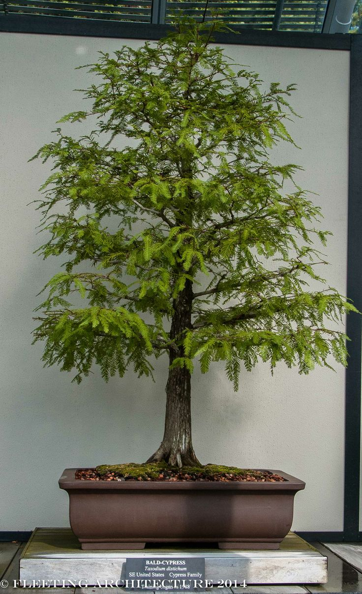 1000 Images About Bonsai On Pinterest Gardens Japanese Maple