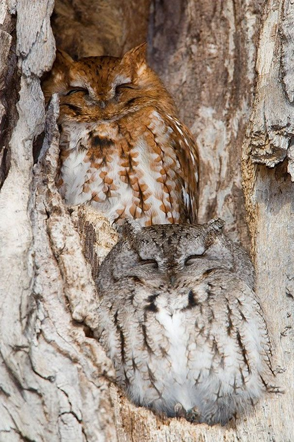 Amazing Example of Owl Camouflage 16