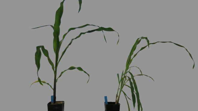 Maize plants (Domesticated specimen is left) (Image: Silvia Matesanz)