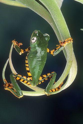 Tiger Striped Monkey Frog, Surinam | Gail Melville Shumway Photography.
