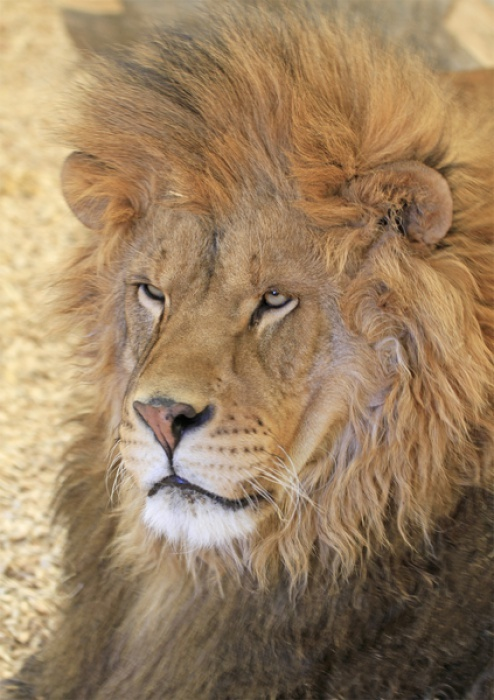 Rescued African Lion