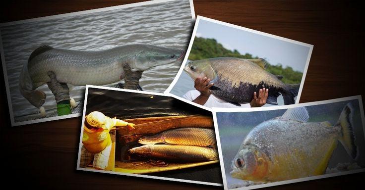 Conheça peixes da Amazônia e saiba quais têm uso comercial